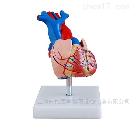 自然大心脏解剖模型