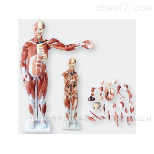 人体全身肌肉解剖模型附内脏模型