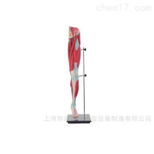 下肢肌肉解剖模型