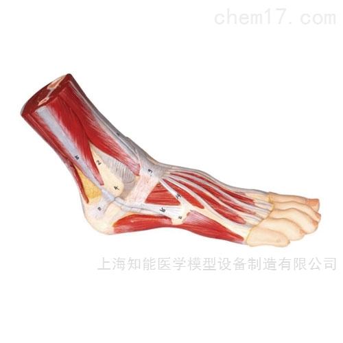 脚肌附主要血管神经解剖模型