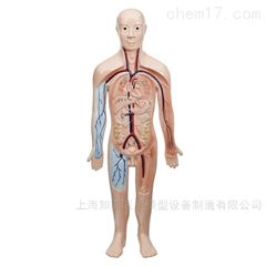 血液循环系统解剖模型