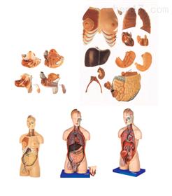 男性、女性外两性互换人体头颈躯干模型 人体躯干模型