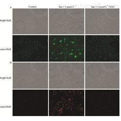 JRD366活性氧检测细胞实验