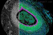 STELLARIS 8 FALCON  共聚焦显微镜