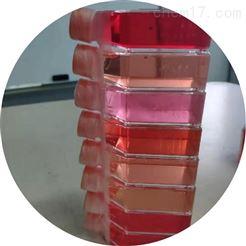 RAB-iCell-d024兔肠间质细胞 免疫荧光鉴定
