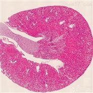 小鼠肾脏HE染色实验服务