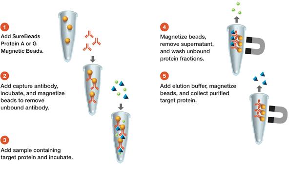 免疫沉淀分为五个简单的步骤